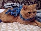 Уникальное фото  британский кот ждет невест 39022917 в Москве