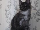 Фото в Кошки и котята Продажа кошек и котят Предлагаю куно деток от родителей чемпионов в Москве 20000