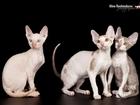 Фото в Кошки и котята Продажа кошек и котят Предлагаются клубные кудрявые котята от питомника в Москве 30000