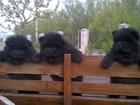 Фото в Собаки и щенки Продажа собак, щенков Продаются щенки чау-чау, мальчики черного в Москве 30000