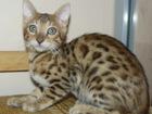 Изображение в   Недорого продаем бенгальского котика три в Москве 12000