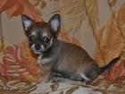Изображение в Собаки и щенки Продажа собак, щенков Мальчик и девочка - г\ш, окрас - мальчик в Фрязино 15000