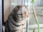 Скачать бесплатно фото Вязка Ищем кошечку на вязку 39268911 в Люберцы