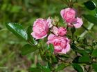Свежее фото  Rizactive Rose (розовый экстракт в рисовом молочке) 40483159 в Волгограде