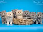 Увидеть фото Другие животные Британские длинношерстные котята купить 41361844 в Москве