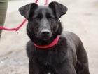 Скачать изображение  Красивая чёрная собака Берта в добрые руки, 45692443 в Москве