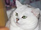 Смотреть изображение Вязка кошек Шиншилловый британец для вязок 51834535 в Москве