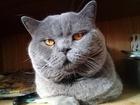 Свежее изображение Вязка кошек Вязка Красивый Шотландский прямоухий кот ждет невесту 53458755 в Москве