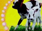Просмотреть изображение  Средство профилактики диареии у телят- РеВоСоБ-ПРО 54687040 в Ростове-на-Дону