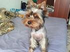 Смотреть foto Вязка собак вязка йоркширского терьера 55068551 в Ярославле