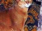 Просмотреть foto Вязка кошек Вязка с абиссинским котом 55142167 в Москве