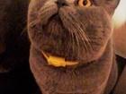 Уникальное фотографию Вязка собак Вязка с Шотландским котом, Прямоухий опытный кот на вязку 56112613 в Москве