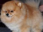 Смотреть фотографию Стрижка собак Стрижка для вашего шпица 56866002 в Москве