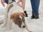 Свежее foto  Великолепный щенок Джек ищет дом! 63521295 в Москве