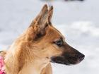 Просмотреть изображение  Чудесная собака Чили в добрые руки, 66626079 в Москве