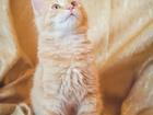 Смотреть изображение  Предлагаются очаровательные рыжие котята, 67756943 в Санкт-Петербурге