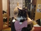 Новое фото Вязка кошек кот мейн кун метро коломенская 68168954 в Москве