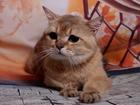 Просмотреть фото  Вязка-Шотландский (страйт) золотой тикированный кот 68186324 в Москве