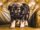 Свежее изображение  Чудесный щенок Ника ищет дом! 68242284 в Москве