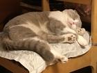 Просмотреть foto Вязка кошек Шотландец вислоухий редкого лилово-белого окраса - приглашает на вязку 68430983 в Москве