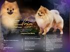 Скачать изображение Вязка собак Кобель немецкого шпица для вязки 68504098 в Москве