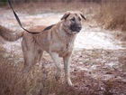 Свежее фотографию  Крупная собака Арья в добрые руки, 68505059 в Москве