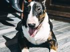 Новое фотографию Вязка собак Стандартный бультерьер с английской родословной, Тестирован, Без аллергии! 68525770 в Уфе