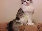 Скачать бесплатно foto Вязка кошек Вязка кот шотландский длинношерстный вислоухий 68538228 в Москве