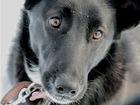 Уникальное foto  Чудесная собачка Дара в добрые руки, 68565174 в Москве
