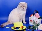 Просмотреть фото Вязка кошек ЛИЛАК ТЕББИ ПОИНТ (ФОЛД) ЧЕМПИОН 68755931 в Москве