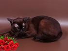 Смотреть foto Вязка кошек Вязка-Бурманский соболиный кот 68755960 в Москве