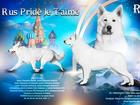 Свежее foto Вязка собак Кобель белой швейцарской овчарки 68873746 в Москве