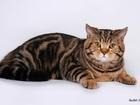 Уникальное foto Вязка кошек Шотландский прямоухий кот на вязку 68927022 в Москве