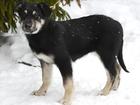 Новое изображение  Метис овчарки в дар овчарка бесплатно собака щенок 69002269 в Москве