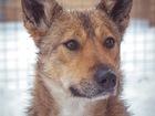 Свежее изображение  В надёжные, добрые руки отдаю собаку Ириску! 69067027 в Москве