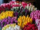 Новое изображение Разное Оптовая закупка и продажа Голландских тюльпанов 69068185 в Москве