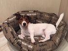 Смотреть изображение Вязка собак Ищем девочку породы джек рассел терьер, 69129567 в Москве
