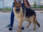 Скачать бесплатно фотографию Вязка собак Молодой самец с родословной , ищет подружку 69212087 в Москве