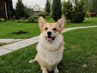 Смотреть изображение Вязка собак Корги пемброк ищет невесту 69743163 в Москве