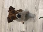 Новое изображение Вязка собак Вязка Джек Рассел терьер 2,5 года 70357102 в Москве