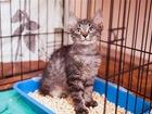 Уникальное фото  Ищут дом два милых котёнка Иржик и Перчик, 70405506 в Москве