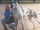 Скачать изображение Вязка собак предлагается для вязки кобель немецкого дога 72674468 в Москве