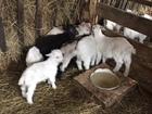 Просмотреть изображение Другие животные Молодняк козочек на откорм 78420969 в Москве