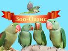 Скачать фотографию Птички и клетки Александрийские попугаи продаю 81389991 в Москве