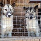 Продам двух щенков гренландских собак