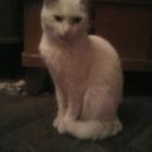 Помогите найти белую кошечку! Санкт-Петербург