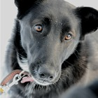 Чудесная собачка Дара в добрые руки