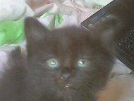 отдам даром котят красивые котята красивые помесь , Британки мамы и сибирского п