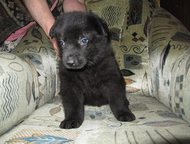 Купить щенка восточноевропейской овчарки Вы хотите купить щенка восточноевропейс