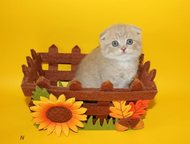 Вислоухие и прямоухие шотландские котята Питомник предлагает к продаже шотландск